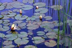 Nénuphars dans l'étang avec la réflexion du ciel bleu Photos stock