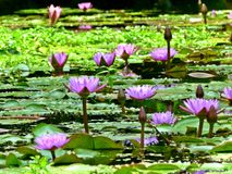 Nénuphars en fleur Photos stock