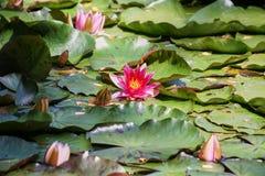 Nénuphars et feuilles de vert sur l'étang Images libres de droits