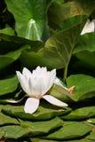 Nénuphars et feuilles de vert sur l'étang Photographie stock libre de droits