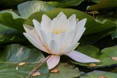 Nénuphars et feuilles de vert sur l'étang Photo libre de droits