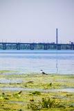 Nénuphars, mouette et fond urbain, pont au-dessus de la rivière Photo stock
