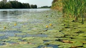 Nénuphars sur l'eau Image libre de droits