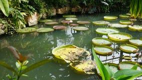 Nénuphars sur la piscine Photo stock