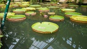 Nénuphars sur la piscine Images stock