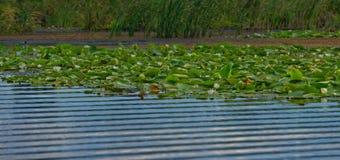 Nénuphars sur le delta de Danube photographie stock libre de droits