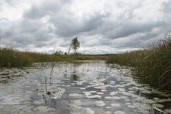 Nénuphars sur le lac blanc, Estonie Septembre, lumière d'après-midi Photos libres de droits