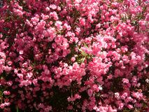 Nérium rosa splendido cespuglio Fiori dell'oleandro di Beautioful fotografie stock