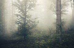 Névoa através das árvores na floresta misteriosa Fotografia de Stock
