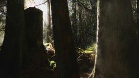 Névoa da manhã e chuva, floresta noroeste pacífica filme