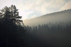 Névoa da manhã em uma floresta conífera da montanha antes do alvorecer fotos de stock royalty free