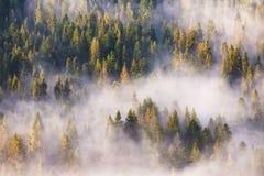Névoa da manhã na floresta do abeto vermelho e do abeto na luz solar morna Fotografia de Stock Royalty Free
