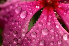 Névoa das pétalas da flor Imagem de Stock Royalty Free