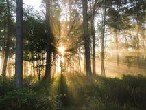 A névoa do amanhecer e do sol irradia-se nas madeiras Fotografia de Stock