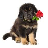 Névoa do filhote de cachorro com flor Foto de Stock Royalty Free