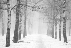 Névoa do inverno da manhã na floresta do vidoeiro preto e branco fotografia de stock royalty free