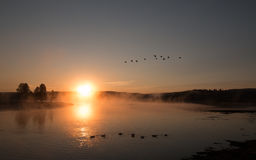 Névoa do nascer do sol no Yellowstone River com os gansos canadenses que voam sobre cisnes de trompetista da natação em Hayden Va Foto de Stock