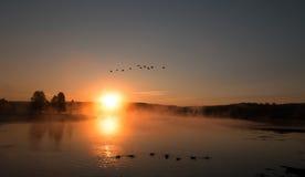 Névoa do nascer do sol no Yellowstone River com os gansos canadenses que voam sobre cisnes de trompetista em Hayden Valley de Yel Foto de Stock