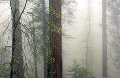 Névoa e árvores imagens de stock