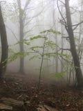 Névoa em uma floresta da faia Imagens de Stock
