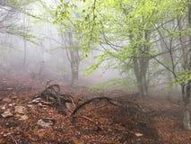 Névoa em uma floresta da faia Imagem de Stock Royalty Free