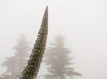 A névoa envolve dois pinheiros com flor do Echium Fotos de Stock