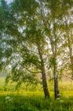 névoa grossa da manhã na floresta do verão Fotografia de Stock