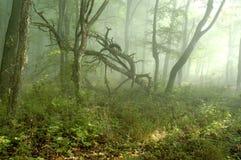 Névoa na floresta Imagem de Stock
