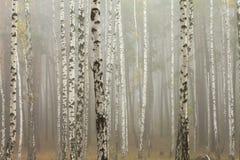 Névoa na floresta do vidoeiro foto de stock royalty free
