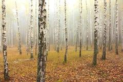 Névoa na floresta do vidoeiro fotografia de stock