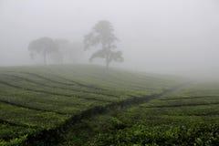 Névoa no campo do chá de Sukawana foto de stock royalty free