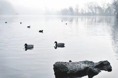 Névoa sobre um lago com patos da natação Fotografia de Stock