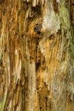 Nó em deteriorar a árvore inoperante, conserva de Belding, Vernon, Connecticu fotografia de stock royalty free