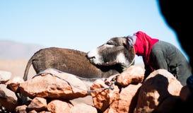 Nómada y burro femeninos en nomade del tof del fron en cueva en Marruecos Imágenes de archivo libres de regalías