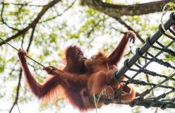 Nós amamos o orangotango Utans Imagem de Stock