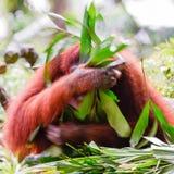 Nós amamos o orangotango Utans Imagens de Stock