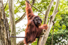 Nós amamos o orangotango Utans Fotos de Stock Royalty Free