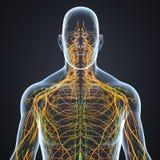 Nós dos nervos e de linfa com opinião anterior do corpo ilustração royalty free