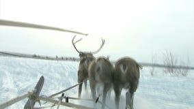 Nós iremos, nós apressar-nos-emos fora em cervos na manhã cedo! video estoque