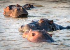 Nöjd fröskida av flodhästar som sover på vattnet Saint Lucia som är södra Arkivbild