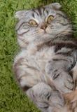 Nöjda kattögon royaltyfria bilder