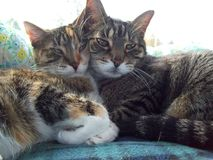 Nöjda katter på en Sunny Window fotografering för bildbyråer