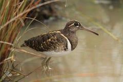 Nöje blir, något att äta, framtiden av fågelungar, den härliga familjen i den Wilpttu nationalparken Målad större - beckasin royaltyfri bild