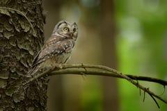 Nördliche Eule - Aegolius-funereus, das auf der Niederlassung im Wald in der Tschechischen Republik sitzt Stockfotos