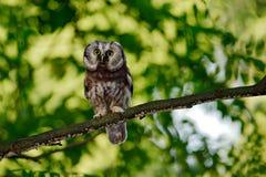 Nördliche Eule, Aegolius-funereus, sitzend auf dem Baumast im grünen Waldhintergrund Eule versteckt in der grünen Waldvegetation  Lizenzfreies Stockbild