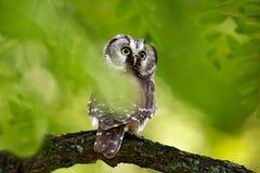 Nördliche Eule des kleinen Vogels, Aegolius-funereus, sitzend auf dem Baumast im grünen Waldhintergrund Eule versteckt im grünen  Stockfotografie