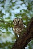 Nördliche Eule des kleinen Vogels, Aegolius-funereus, sitzend auf dem Baumast im nece Grün-Waldhintergrund Lizenzfreies Stockfoto