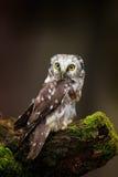 Nördliche Eule des kleinen Vogels, Aegolius-funereus, sitzend auf Lärchenbaumstamm mit klarem dunklem Waldhintergrund, im Naturle Lizenzfreies Stockbild