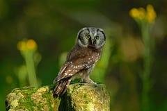 Nördliche Eule des kleinen Vogels, Aegolius-funereus, sitzend auf Lärchenstein mit klarem grünem Waldhintergrund und gelben Blume Lizenzfreies Stockfoto