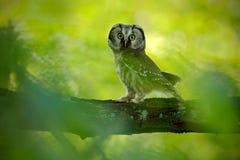 Nördliche Eule des kleinen Vogels, Aegolius-funereus, sitzend auf Niederlassung mit klarem grünem Waldhintergrund, Tier im Naturl Lizenzfreie Stockbilder